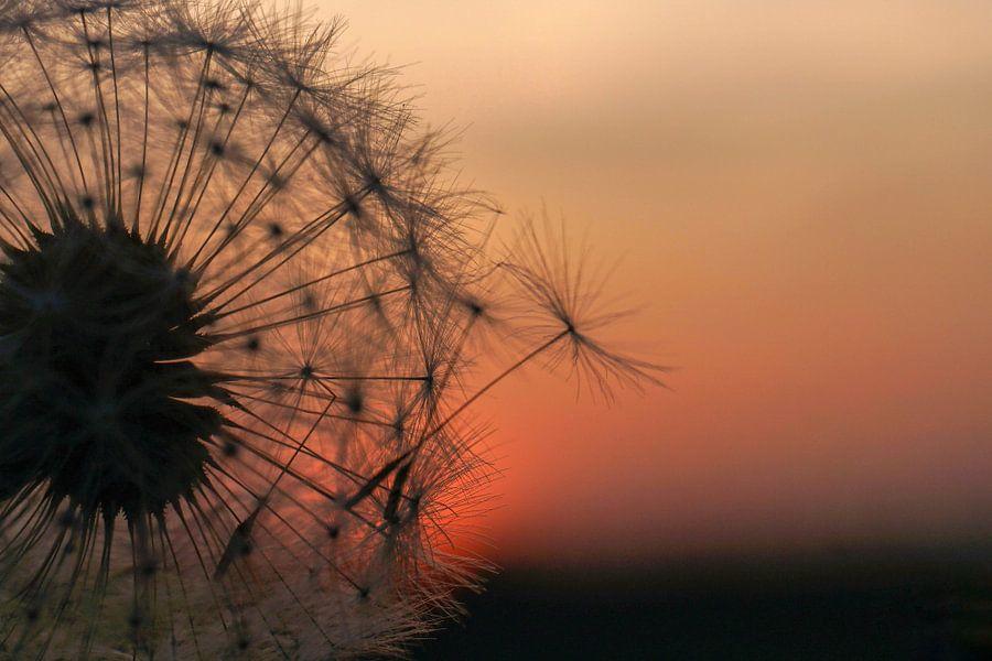 Paardebloem bij zonsondergang  van Angela Wouters