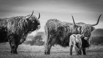 Schotse hooglander vader en moede met kalf van Dirk van Egmond