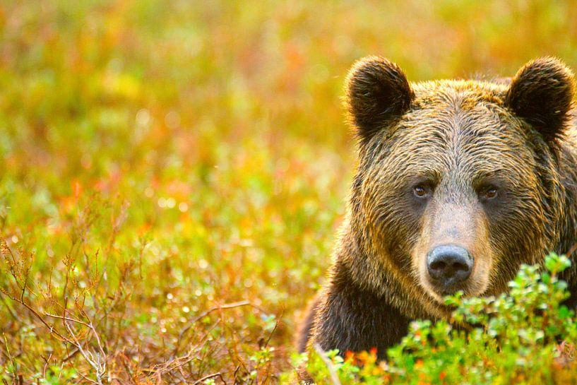 Portret van een bruine beer van Sam Mannaerts Natuurfotografie