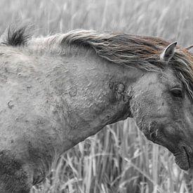 Konik Pferd von Ricardo Bouman