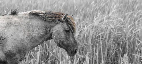 Konikpaard van Ricardo Bouman | Fotografie