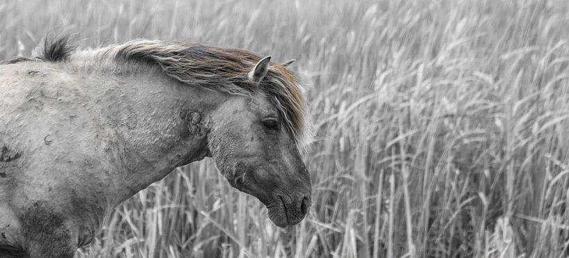 Konikpaard bij het riet van Ricardo Bouman