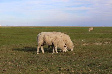 Moutons en train de paître sur l'île de Pellworm en mer du Nord