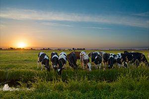 Zonsondergang met koeien in de polder