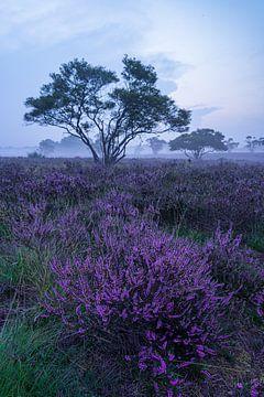 Commencez la journée avec une bruyère violette sur Albert Lamme