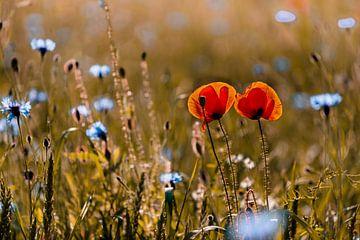 Mohnblumen im Kornblumenfeld von Kurt Krause