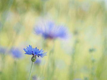 Kornblume in einem Blumenfeld (II) von Astrid Brouwers