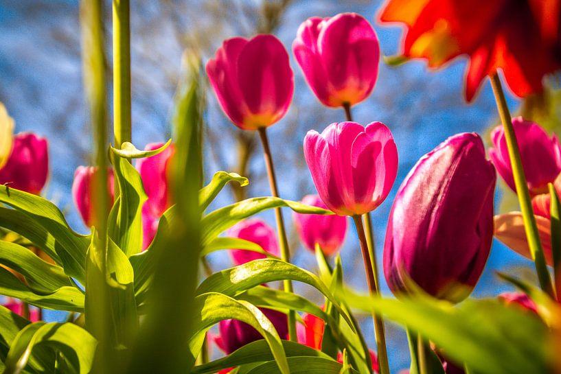 Prachtige paarse tulpen van Koop je Canvas