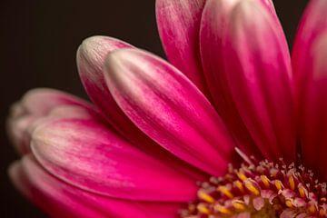 Gerbera rosa von picturesbysas
