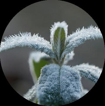 Bevroren bladeren van een vlinderstruik van Cor de Hamer