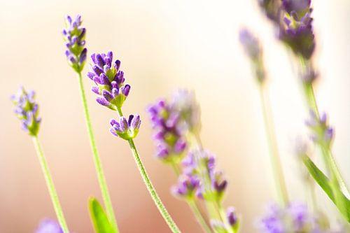 Lavendel van Reinhardt Dallgass