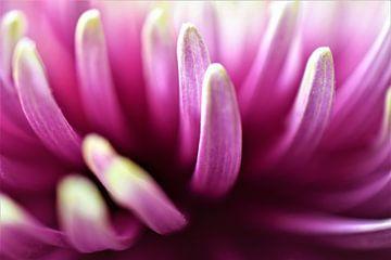 Chrysantheme von Dorien Boekema
