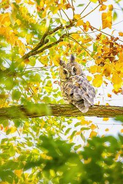 Waldohreule hoch im Baum von Caroline van der Vecht