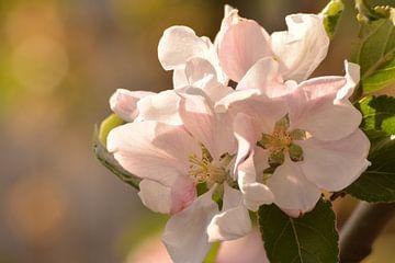 Appel bloesem in volle bloei van Klaas Dozeman