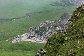 Bergziegen am Lago Ercina in den Picos de Europa von Easycopters