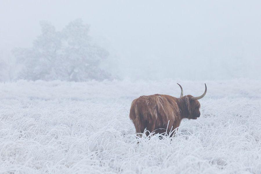 Schotse hooglander in wit berijpt veld