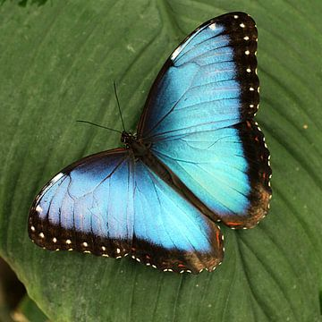 The Blue One von Cornelis (Cees) Cornelissen