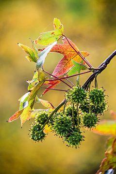Zweig einer Amerikansichen Amberbaum