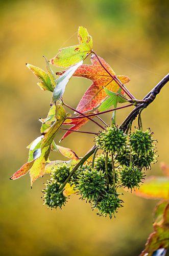 Takje van een amberboom van