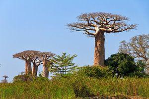 Baobabs in het groene gras