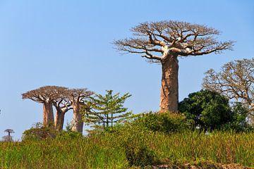 Baobabs in het groene gras von Dennis van de Water