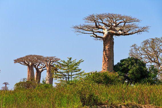 Baobabs in het groene gras van Dennis van de Water