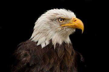 Bald Eagle, een portret van Gert Hilbink