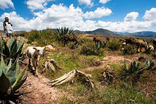 Schaapherder in Peru van