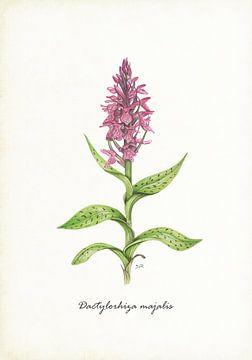 Breite Orchis von Jasper de Ruiter