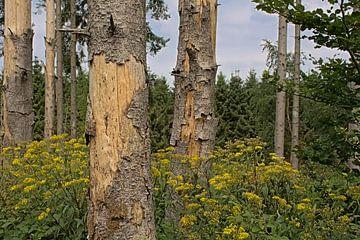 Wald mit Fuchssches Greiskraut in den Ardennen von Kristof Lauwers
