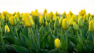 Gele tulpen in Nederland, Bollenstreek von Jeroen Somers