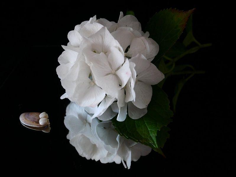 Witte hortensia met schelp tegen zwarte achtergrond van Birdy May