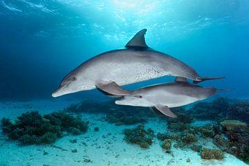 Dolfijn moeder met jongen van Norbert Probst