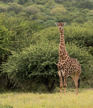 een giraffe van Compuinfoto .