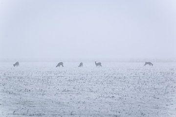 reeën in koude mistige ochtend von Jo Pixel