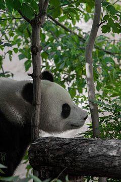 Magnifique panda paisible en bambou sur Michael Semenov