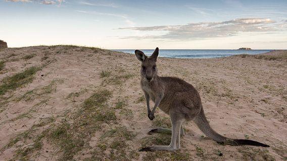 Kangoeroe op Pebbly Beach  van Chris van Kan