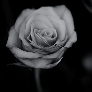 Roos (zwart-wit) van Fotografie Jeronimo