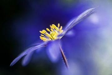 Anemone Blanda von Bob Daalder
