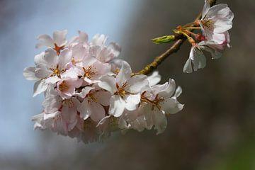 Fleurir sur lieve maréchal