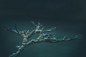 Tak Acer palmatum 'Aureum' van Wicher Bos