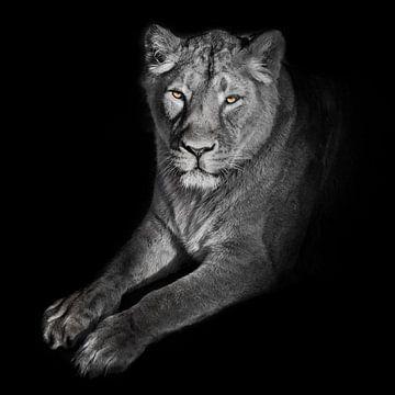 fel oranje ogen, gebleekte gezichtsleeuwen op een zwarte achtergrond. leeuwin op een zwarte achtergr van Michael Semenov