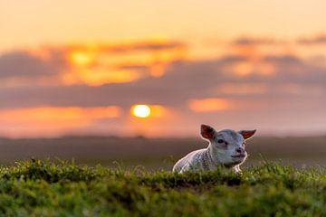 """Lammetje """"grumpy"""" Texel van Texel360Fotografie Richard Heerschap"""