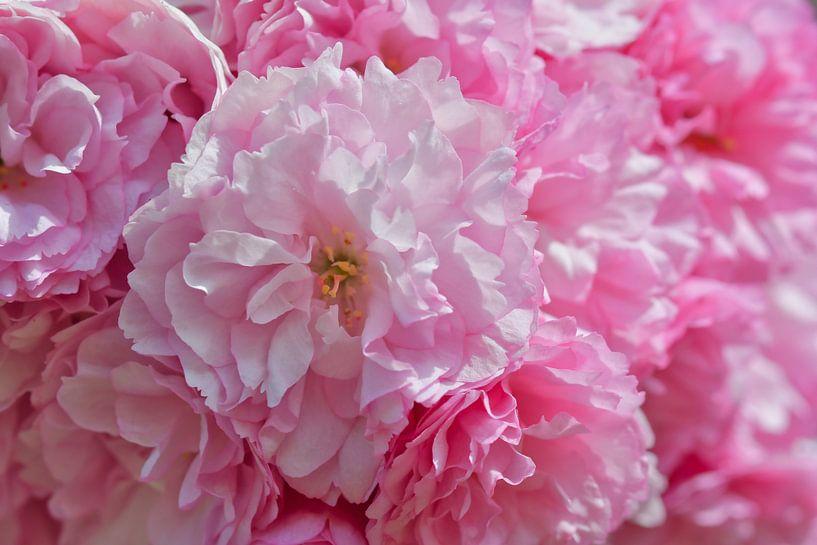 Amai wat een heerlijk lente gevoel met roze bloesems van JM de Jong-Jansen