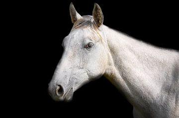Weißes Pferd auf schwarzem Hintergrund von Jan Brons