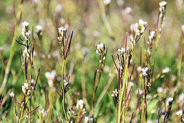 Blühendes Hirtentäschelkraut von Ingrid Bargeman