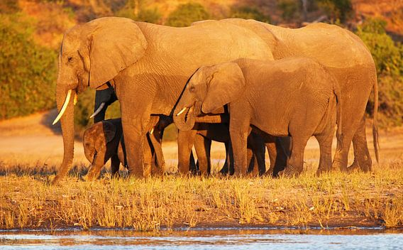 Elephants in the evening light - Africa wildlife