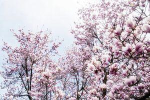 Magnoliabloesem lentebloesem III