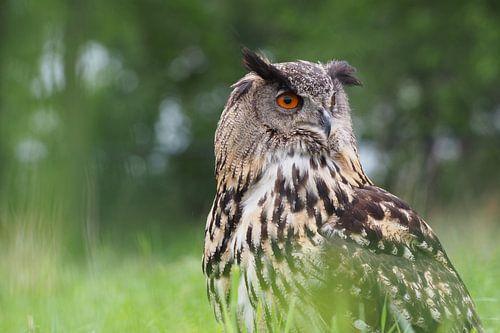 Oehoe verscholen in het gras van Astrid Brouwers