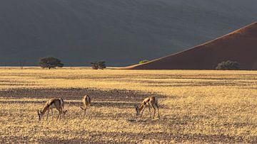 Springbock Namib Naukluft Park von Albert van Heugten